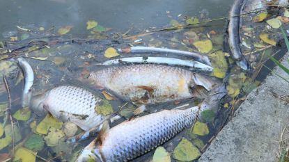 Massale vissterfte dreigt op Bovenschelde na zware verontreiniging over de Franse grens