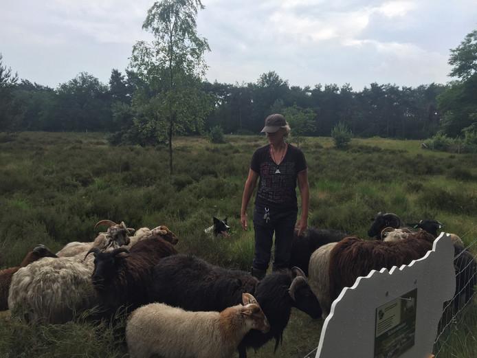 De zeldzame schapen van Schaapskudde Eerde gaan de hele heide rond, achtervolgd door de hond.