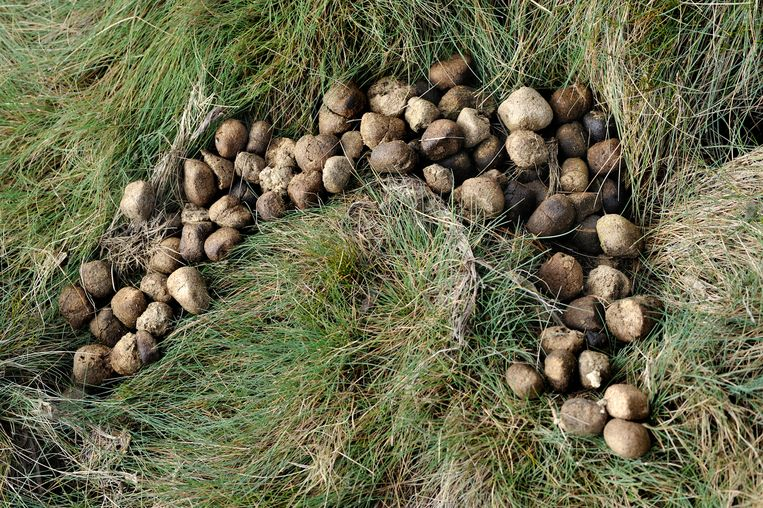 De uitwerpselen van wombats.