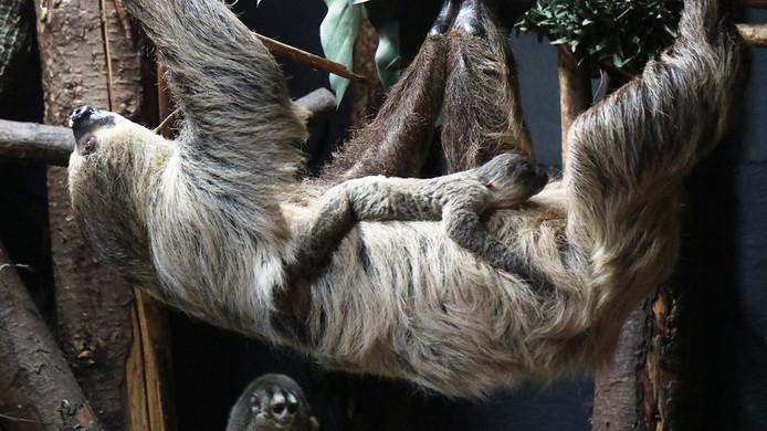 Het pasgeboren jong op de buik van de moeder.