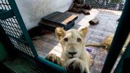 Mexicaan houdt drie leeuwen op dakterras en weigert ze vrij te laten