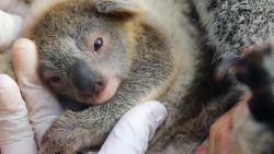 Schattig: eerste baby koala in Australië sinds bosbranden laat zich zien