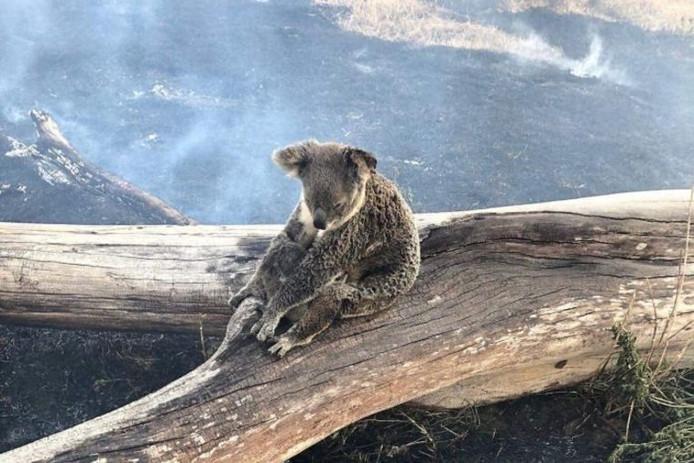 Een koala met haar kleintje te midden van de smeulende aarde.