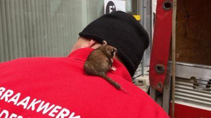 Arbeiders redden eikelmuis uit gewezen hotel in Kortrijk