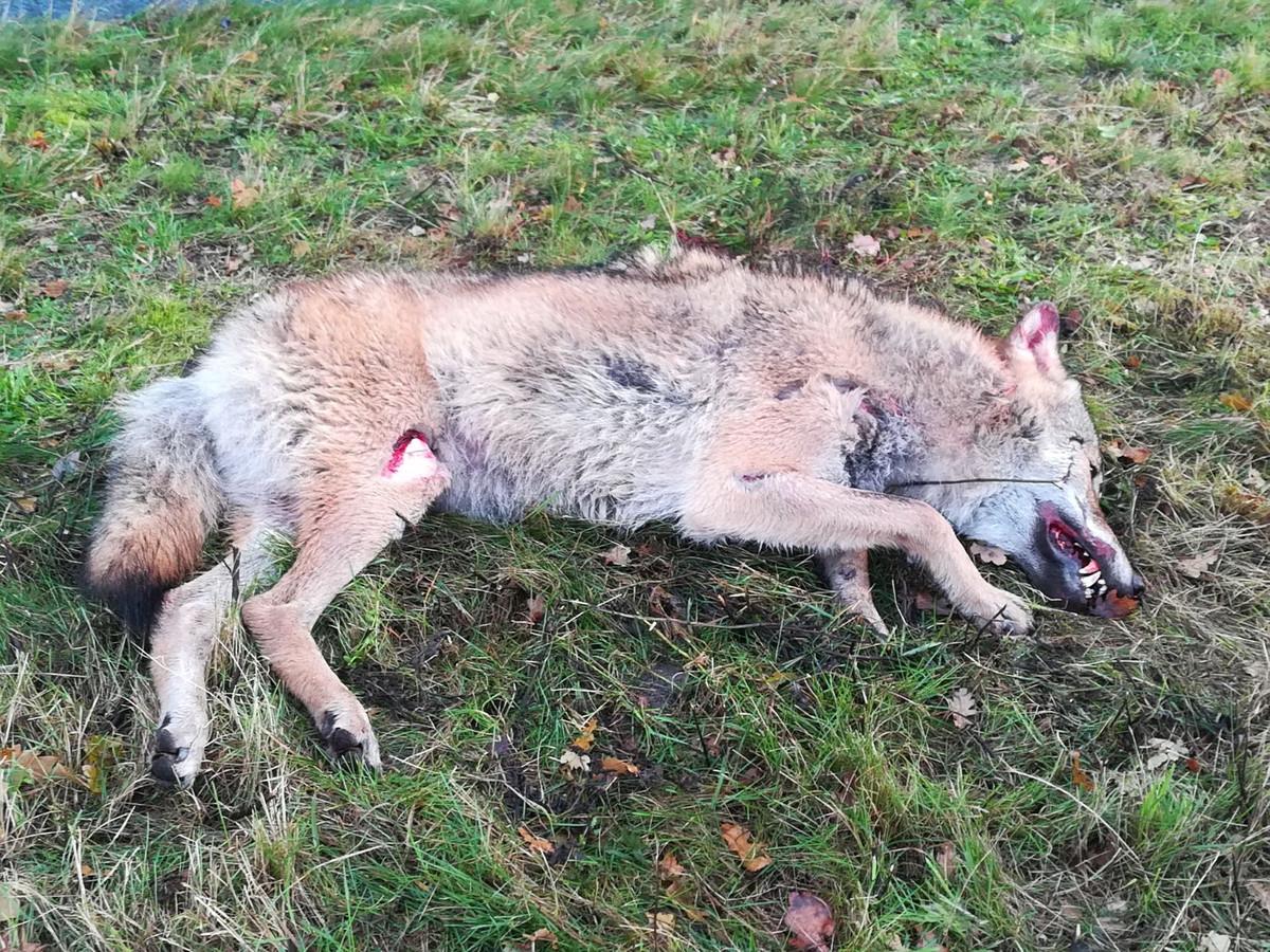 De dode wolf die Sebastiaan Bake maandagochtend vond bij Kloosterhaar.