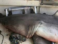 Witte haai springt in varende vissersboot