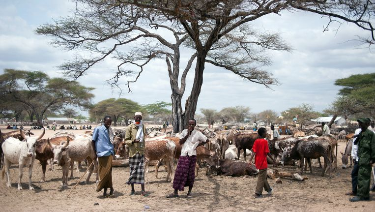 Pastoralist Somali farmers stand beside their cattle in the market of Dhobley in Somalia on August 11, 2011. Beeld null