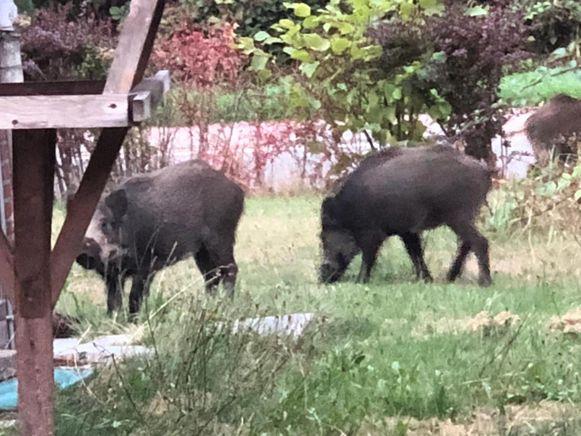 In Midden-Limburg komen everzwijnen geregeld tot in de achtertuinen.