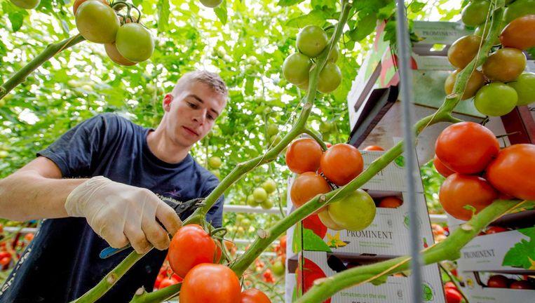Een student plukt tomaten in een kas in De Lier. Jongeren die op zoek zijn naar een bij- of vakantiebaantje worden meegeteld in de werkloosheidscijfers. Beeld Robin van Lonkhuijsen / ANP