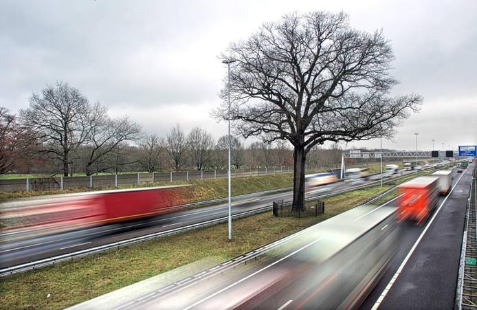 De ruim 150 jaar oude eik staat klem tussen twee weghelften van de A58 onder Ulvenhout. Verplaatsen is volgens de meeste mensen het beste idee. foto Johan Wouters/het fotoburo