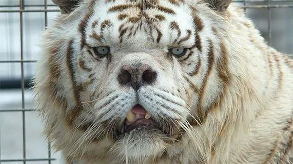 """Kenny, de """"lelijkste tijger ter wereld"""""""