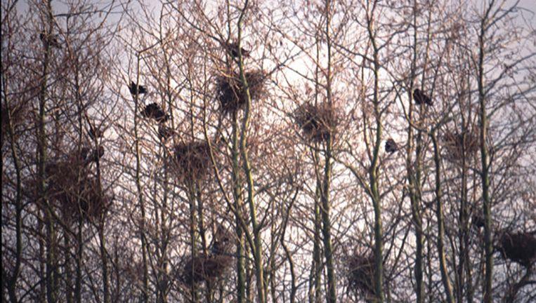 Een roekenkolonie. Beeld Wikimedia / Creative Commons