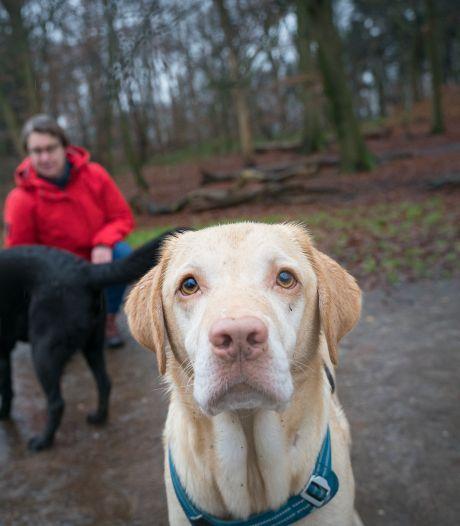 Labrador Storm eet per ongeluk wiet op, baasje Saskia was hem bijna kwijt: 'Tranen uit pure wanhoop'