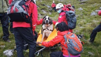 De omgekeerde wereld: gewonde sint-bernardshond wordt succesvol van berg gehaald door 16 redders