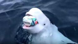 Witte dolfijn die met rugbybal speelt op oceaan is mogelijk Russische 'spionwalvis'