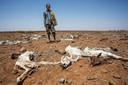 In de regio Marsabit zijn veel veeboeren getroffen door de droogte. Al bijna een jaar heeft het er niet geregend. Het Rode Kruis koopt vee van de boeren op dat anders doodgaat van de droogte.
