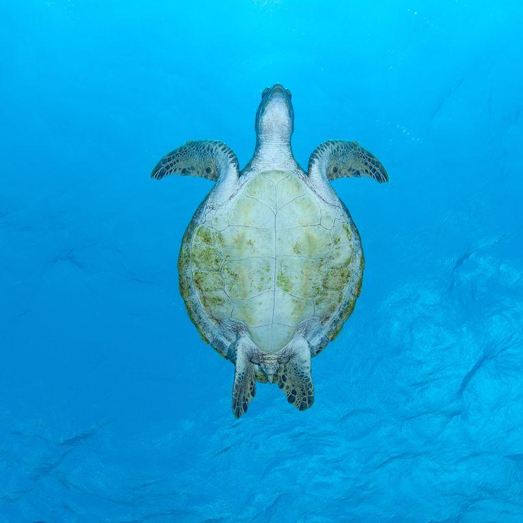 Een zeeschildpad in de wateren rond Bonaire. Beeld Jean-Philippe Maréchal