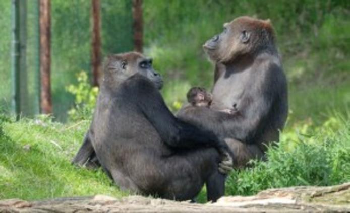 Het baby-gorrillatje bij moeder Kisiwa