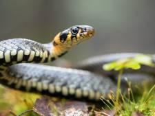 Ringslang gevonden in schoorsteen Hekendorp: toename slangen blijkt een feit