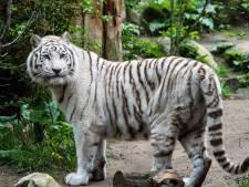 Witte tijger in DierenPark Amersfoort overleden