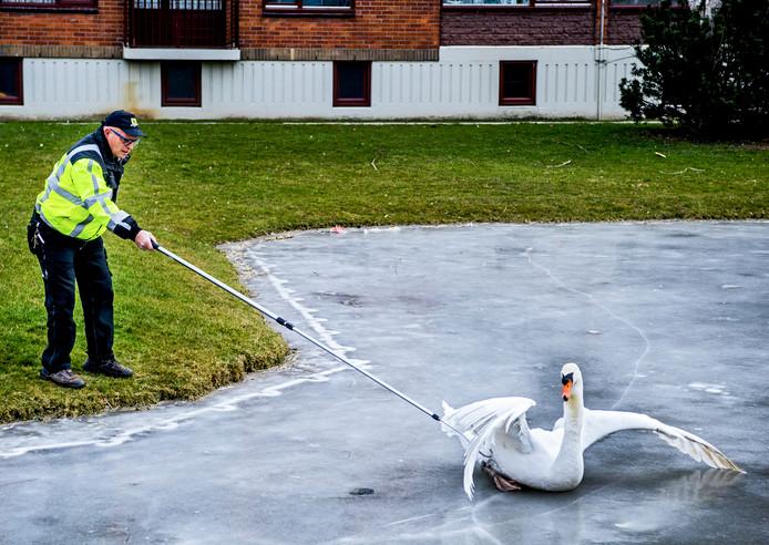 Een zwaan wordt van het ijs gered.