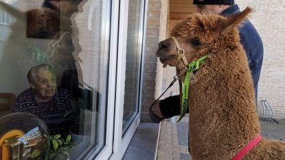 Alpaca James brengt rusthuisbewoners bezoek in coronatijden