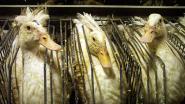 Nul ganzenkwekerijen in Brussel, maar toch is productie van foie gras er voortaan verboden