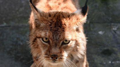 Vrouw wurgt wilde kat die haar aanvalt met blote handen