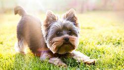 Waarom kleine hondjes vaak luider keffen dan grote