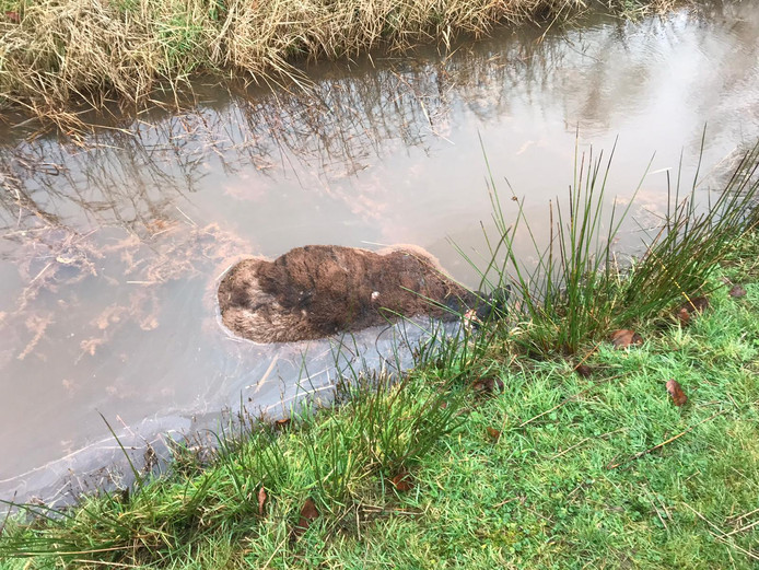 In Prinsenbeek trof eigenaar Jan van Dongen een van zijn schapen met grote beetwonden dood aan in een sloot.