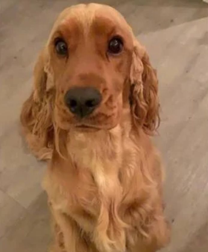 De driejarige cocker spaniël George uit Nuenen is zondagmiddag beschoten. Hij overleefde het niet.