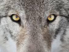 Wolf terug in Brabant? Is het nu niet, dan later wel