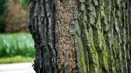 Progenk wil processierups bestrijden met sluipwespen