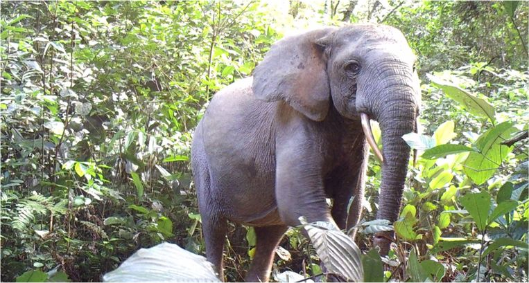 Olifant is goed voor het bos. Beeld Nathan Williamson for Gabon National Parks