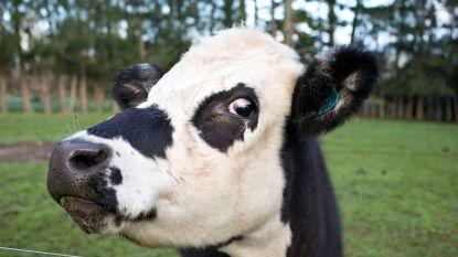 Nieuw-Zeeland gaat meer dan 100.000 koeien afmaken
