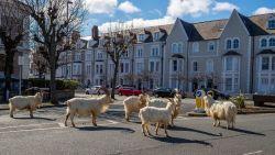 Wilde geiten palmen straten in van Wales nu bewoners binnenblijven