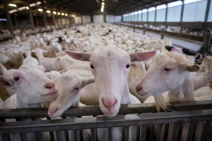 Een stal vol melkgeiten. Dit beeld is ter illustratie; dit is niet de stal in Brakel.
