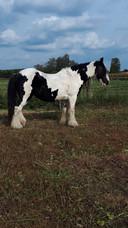 De merrie Sailer Moon, die eind oktober werd mishandeld in een wei in Hooge Mierde. Eigenaar is 'Jolanda'. Zij is ook de fotografe.