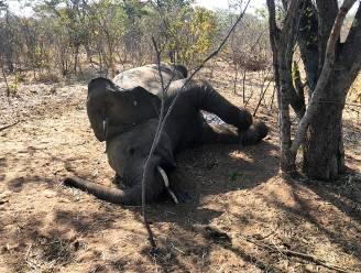 Wetenschappers achterhalen oorzaak plotse overlijden van 34 olifanten in Zimbabwe