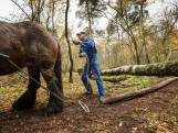 Paarden slepen bomen over paden en hindernissen bij wedstrijd in Hezingen