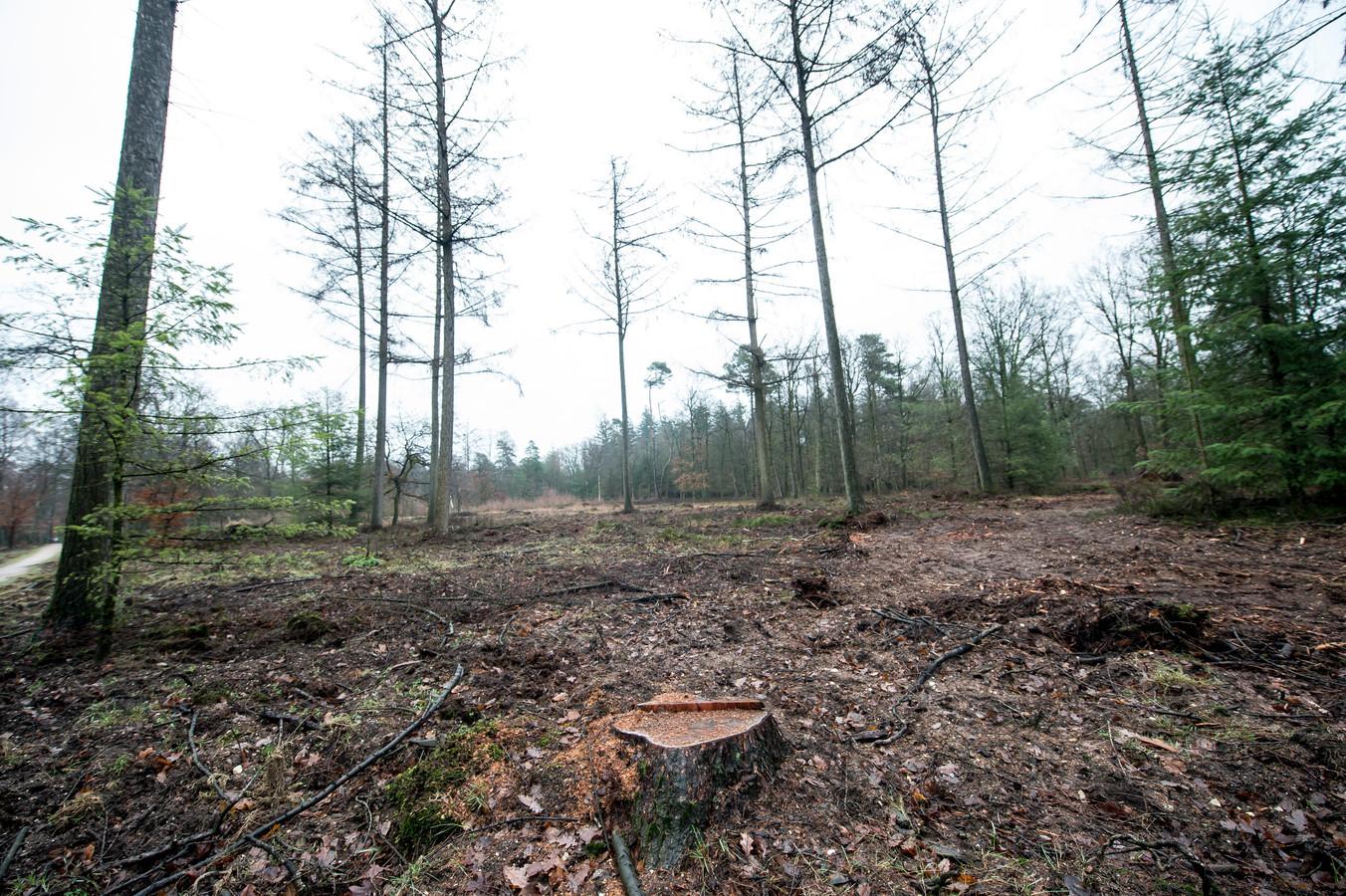 De Lariksbastkever zorgde er voor dat dit jaar honderden lariksen gekapt moesten worden op de Loenermark.