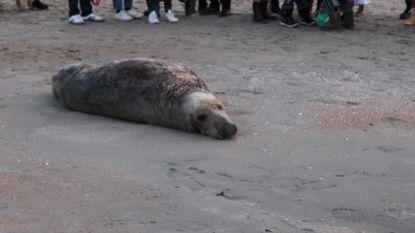 Grijze zeehond lokt heel wat kijklustigen op het strand