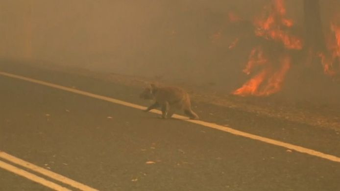 Een koala op de vlucht voor de bosbranden.