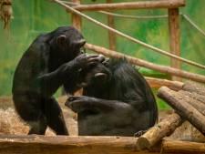 Welkom Mia en Marit: ZOO krijgt er twee Zweedse chimpansees bij