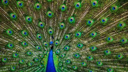 Pauwenvrouwtjes willen mannen met veel ogen