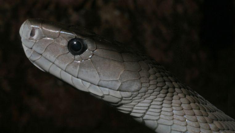 gif van zwarte mamba alternatief voor morfine | dieren | wetenschap