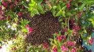 Grote bijenzwerm verhindert Duitser om zijn huis te verlaten