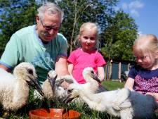 Piet en Kees bieden verweesde ooievaarskuikens een helpende hand