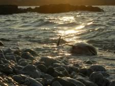 De nouvelles mesures pour protéger la baleine noire au Canada