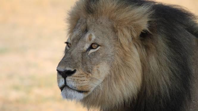 """""""Ik panikeerde en hing de halsband van Cecil de leeuw aan een boom"""""""